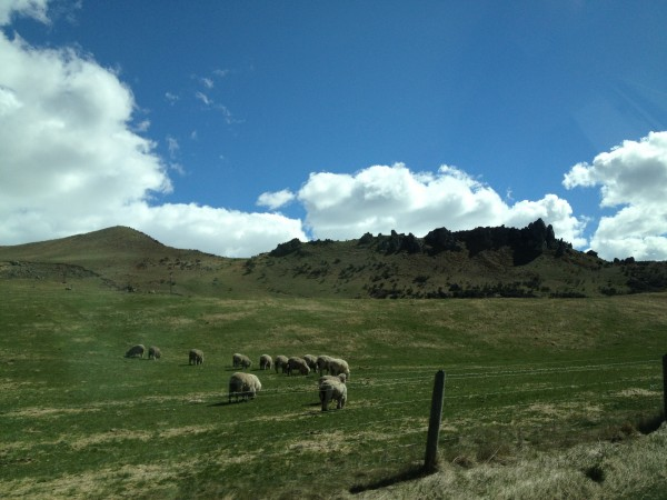 Christchurch to Greymouth Drive, Southern Alps, New Zealand, Sheep