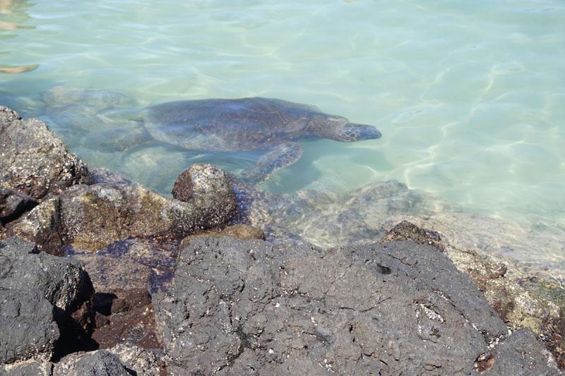 sea turtles hawaii big island