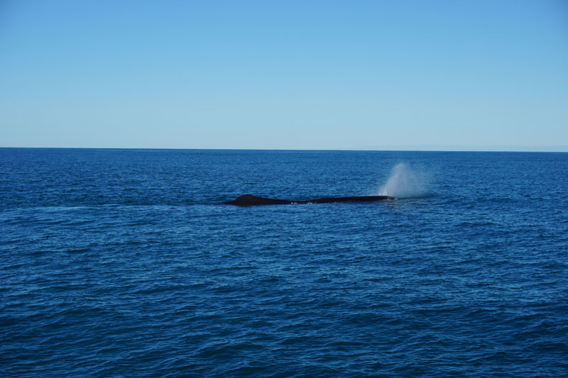 Whale Number 3 spouting